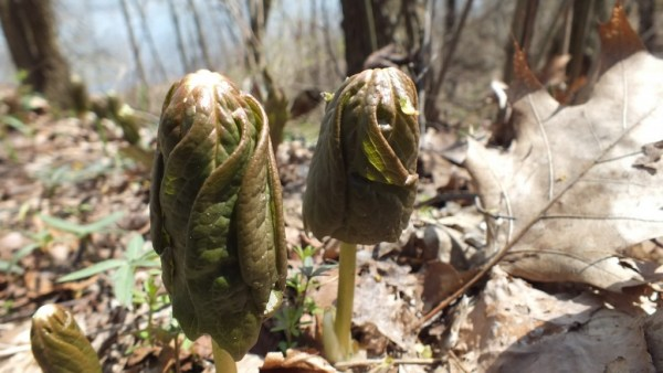 Mayapples, Beginning to Unfurl, Cootes Paradise, Burlington