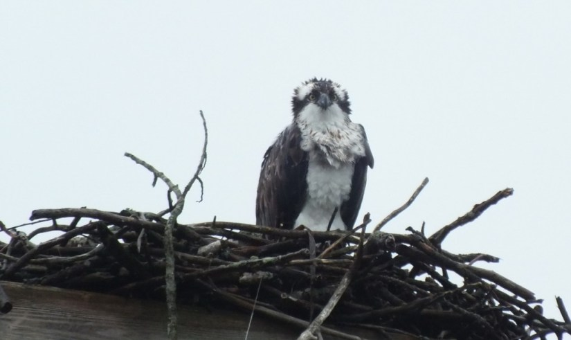 Osprey sits soaken wet in nest - Youngs Point - Ontario - Canada