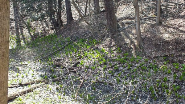 Skunk Cabbage Sprawl Along Hillside, Cootes Paradise, Burlington