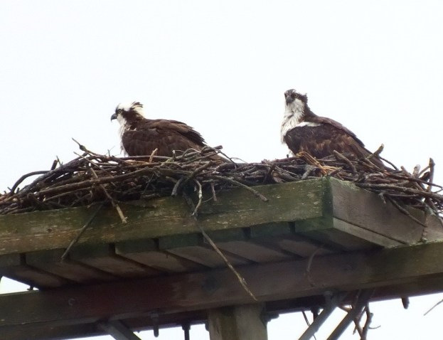 Two Osprey in nest on hydro pole --- Youngs Point - Ontario - Canada