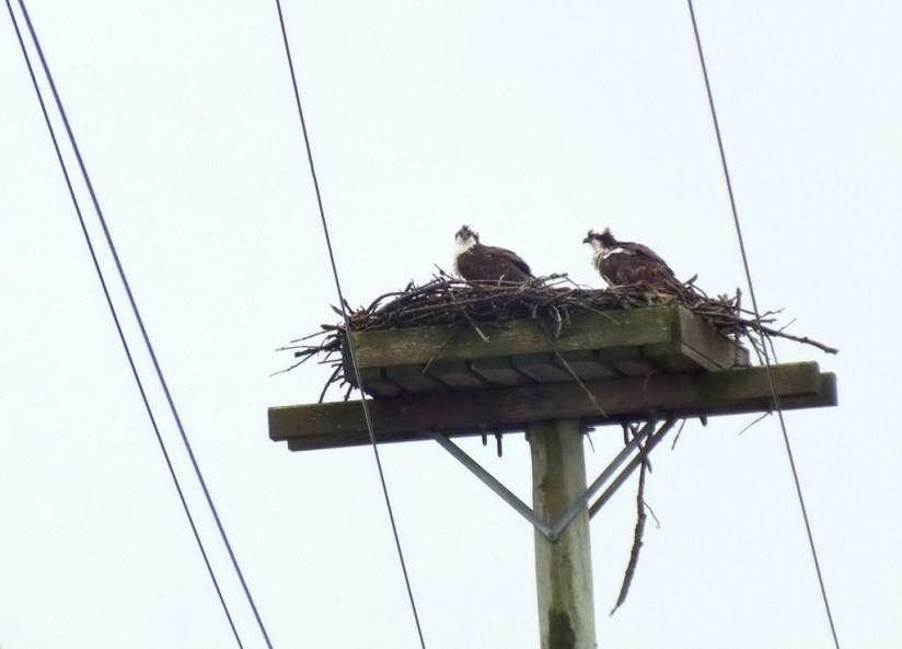 Two Osprey sit in nest on pole - Youngs Point - Ontario - Canada