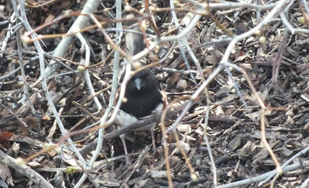 eastern towhee - hidden in thicket - Beamer Memorial Conservation Area - Grimsby - Ontario