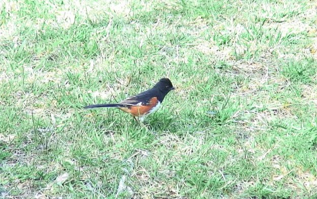 eastern towhee hunts for food on ground - Beamer Memorial Conservation Area - Grimsby - Ontario