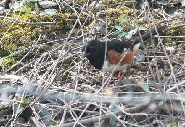 eastern towhee - in thicket - Beamer Memorial Conservation Area - Grimsby - Ontario