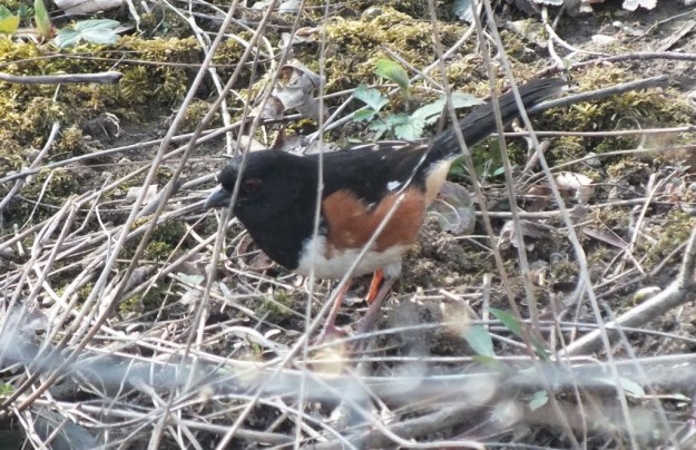 eastern towhee - on the ground - Beamer Memorial Conservation Area - Grimsby - Ontario