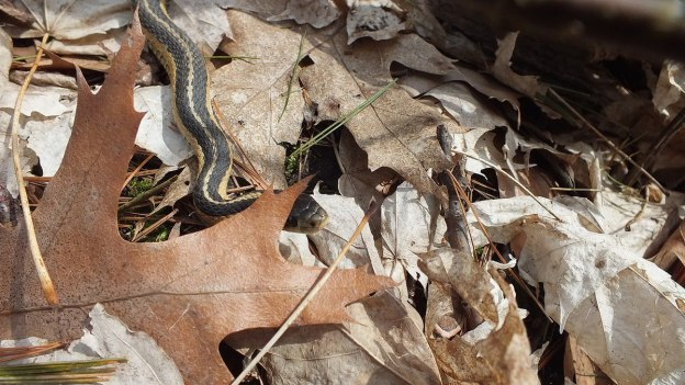 garter snake behind an oak leaf - thicksons woods - whitby