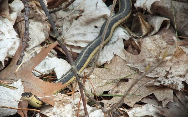 garter snake checks me out - thicksons woods - whitby