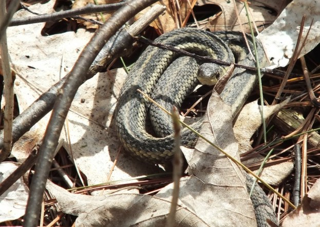 garter snake coiled up in leaves - thicksons woods - whitby