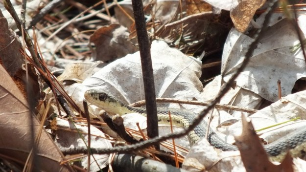 garter snake in leaves - thicksons woods - whitby