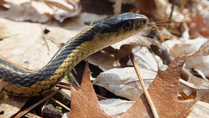 garter snake retracks its tongue - thicksons woods - whitby