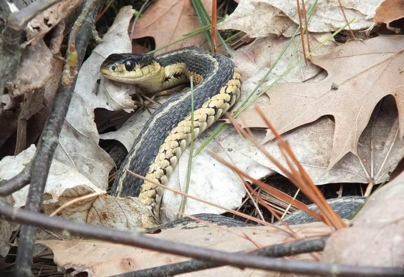 garter snake, thicksons woods, whitby