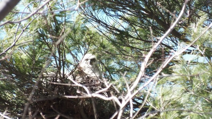 great horned owl chick in nest -- - thicksons woods