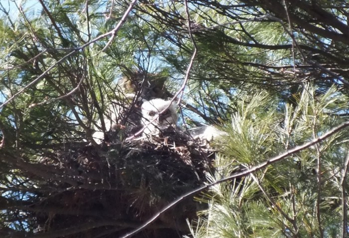 a great horned owl chick looks down from nest at me