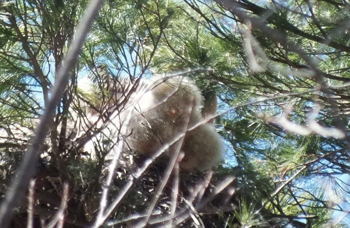 great horned owl chicks back end in action