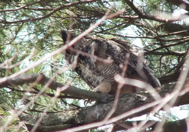 great horned owl mother heads back to nest - thicksons woods