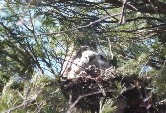 great horned owl nest with mother and two chicks - thicksons woods