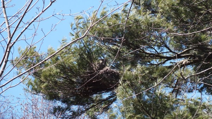 great horned owl - thicksons woods
