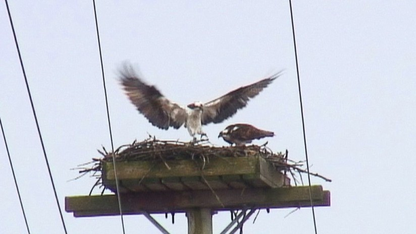 osprey dances in front of partner in nest - Youngs Point - Ontario - Canada
