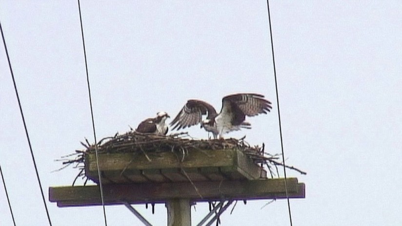 osprey lands in nest - Youngs Point - Ontario - Canada