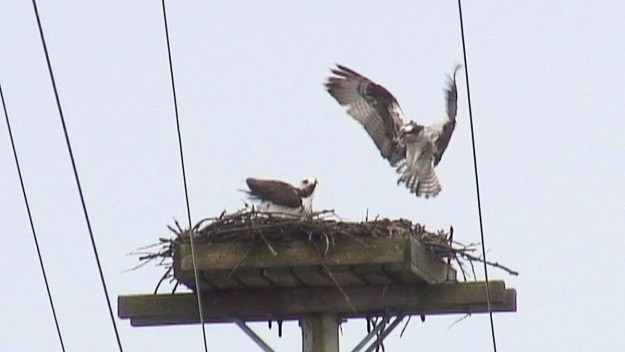 osprey returns to nest - Youngs Point - Ontario - Canada