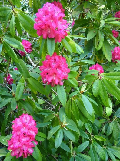 pink rhododendron flowers at powerscourt - wicklow - ireland