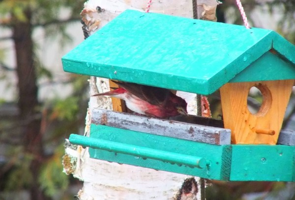 purple finch - in birdfeeder during rainstorm - oxtongue lake - ontario
