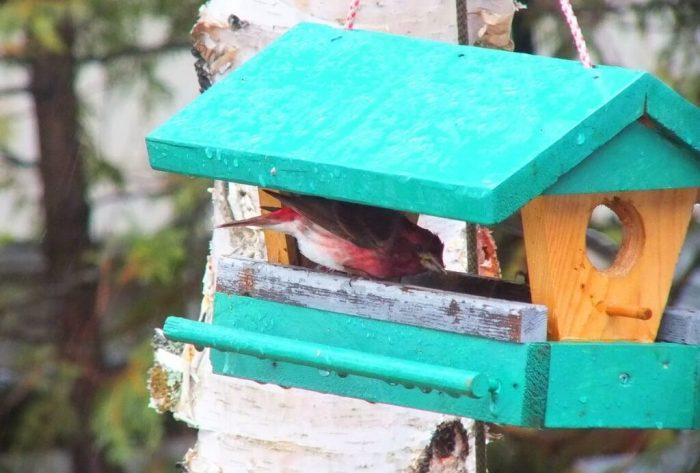 purple finch - in birdfeeder during rainstorm - oxtongue lake - ontario