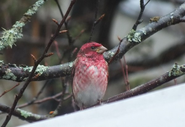 purple finch - on tree in heavy rain - oxtongue lake - ontario