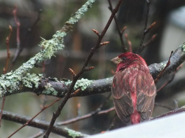 purple finch - view of back - oxtongue lake - ontario