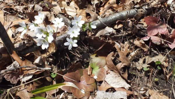 sharp-lobed Hepatica and Leaves, Cootes Paradise, Burlington