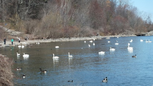 trumpeter swans at La Salle park in Hamilton Harbour