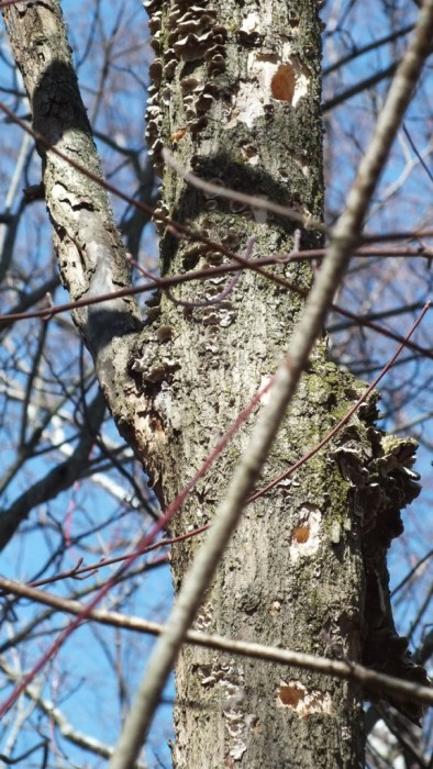 tree in thicksons woods with various chickadee holes - whitby - ontario
