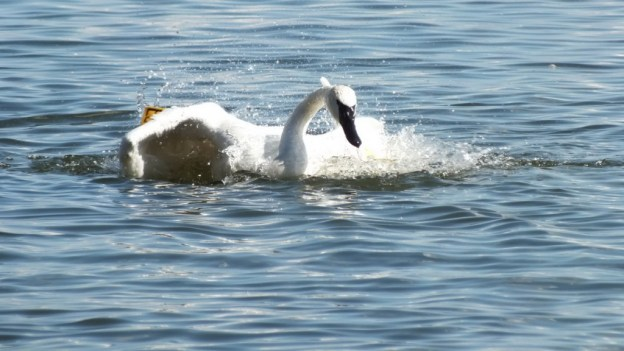 trumpeter swan dips its wings into water