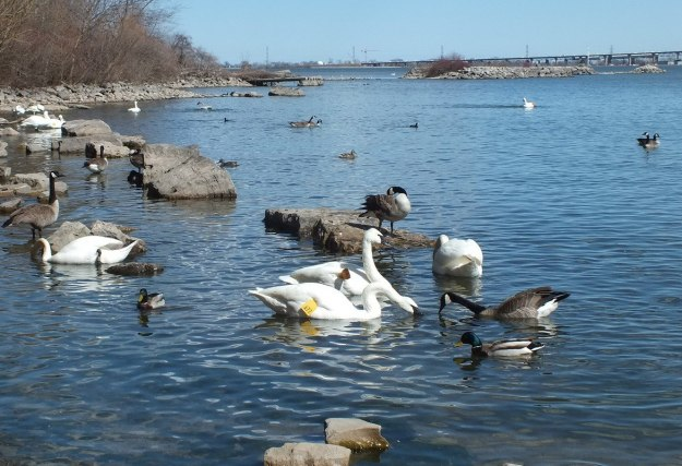 trumpeter swans gather together in Hamilton Harbour