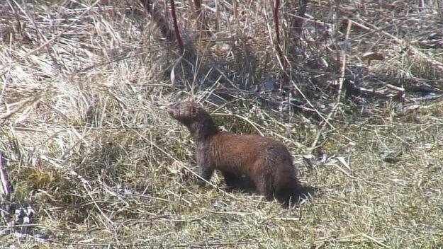 weasel looks towards muskrat swamp