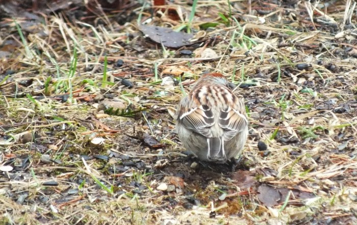 white throated sparrow - on grass - oxtongue lake - ontario
