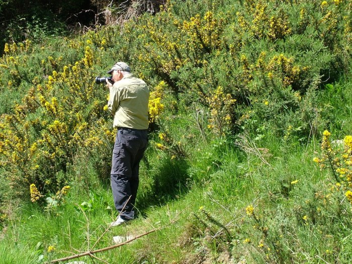 Bob films Gorse growing near hiking trail - Lackandarragh Lower - Wicklow - Ireland