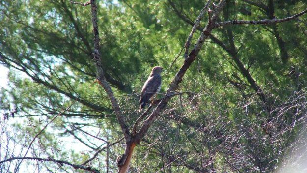 Broad-winged hawk sitting in a tree near Dorset in Ontario, Canada.