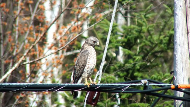 Broad-winged hawk near Dorset in Ontario, Canada.