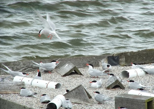 Common Tern - flies away from reef raft - tommy thompson park - toronto