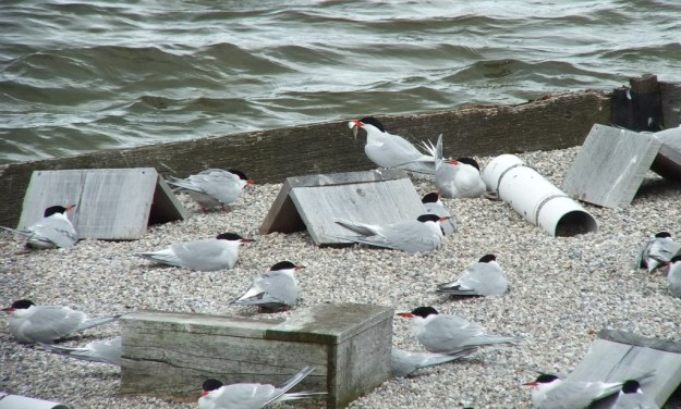 Common Tern - holds a fish in its peak - tommy thompson park - toronto