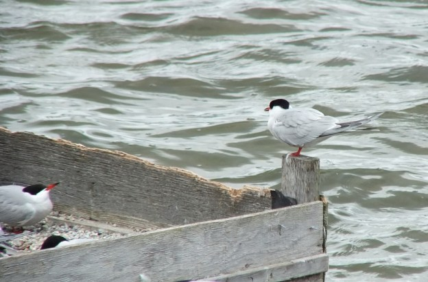 Common Tern - sits on reef raft corner post - tommy thompson park - toronto