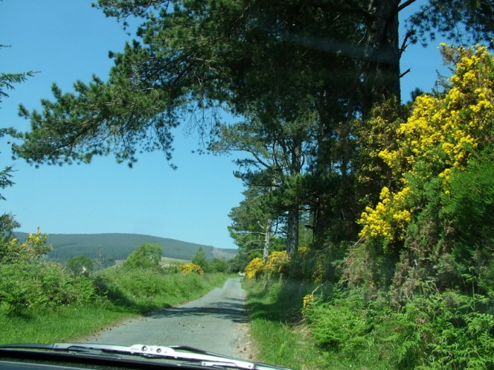 Gorse growing along road - Lackandarragh Lower - Wicklow - Ireland