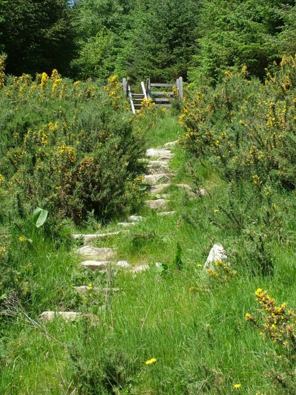 Gorse growing near hiking trail - Lackandarragh Lower - Wicklow - Ireland