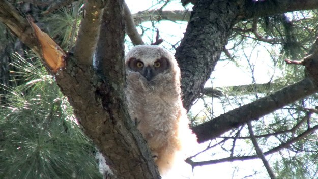 Great Horned Owl - baby 1 looks at me from tree - Thicksons Woods - Whitby - Ontario