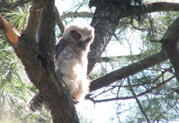 Great Horned Owl - baby 1 looks to down from tree limp - Thicksons Woods - Whitby - Ontario
