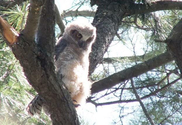 photograph of a Great Horned Owlet sitting in a tree in Thicksons Woods in Whitby, Ontario, Canada.