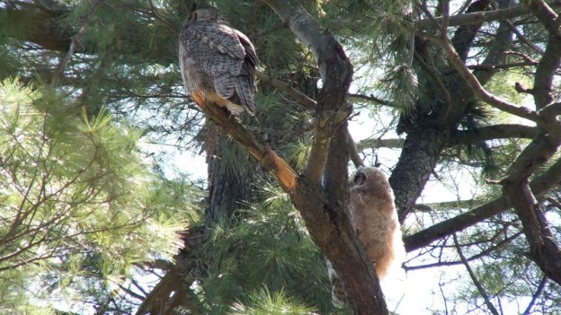 Great Horned Owl - baby 1 looks up at its mother - Thicksons Woods - Whitby - Ontario