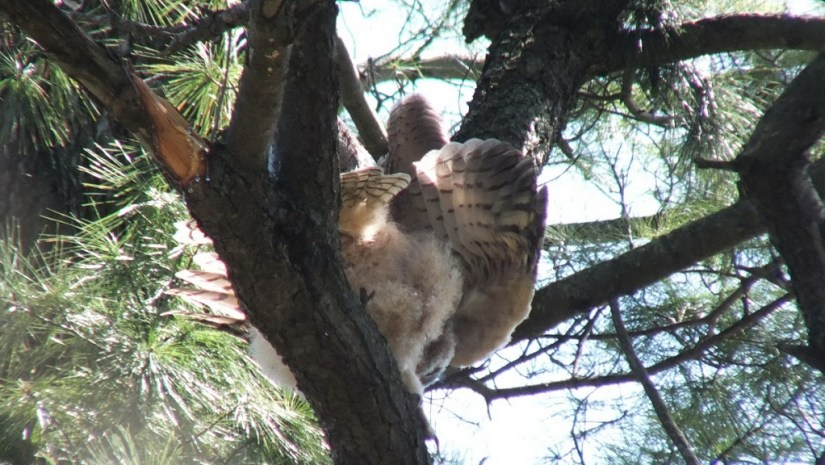 Great Horned Owlet, Thickson's Woods, Whitby, Ontario