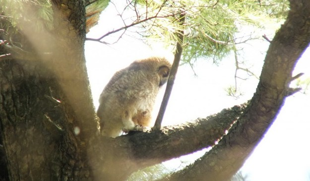 Great Horned Owl - baby 2 on lower tree limp - Thicksons Woods - Whitby - Ontario